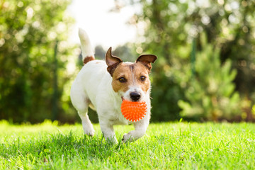 Happy Jack Russell Terrier pet dog playing with toy at back yard lawn