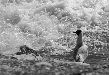 black and white photo of a seagull standing on the bank of a river and looking into the bubbling rapids