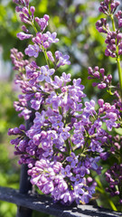 blossoming purple lilac