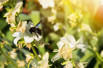 Big black beetle flying on a white flower. Summer themes.