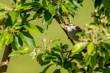 White-crowned sparrow peers through the tree branches
