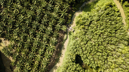 Aerial view of field growing palm in chonburi Thailand