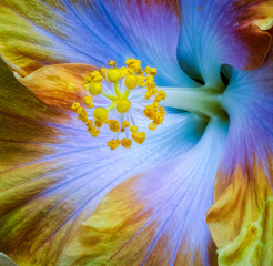 Floral colorful macro flower image of the pistil of a single isolated blooming open blue yellow violet hibiscus blossom with detailed texture in rainbow colors