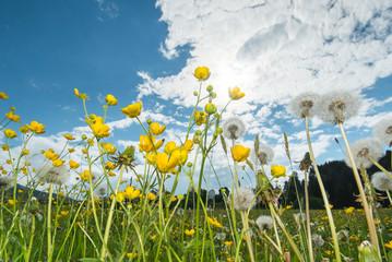 Blumenwiese mit Gänseblümchen und Löwenzahn