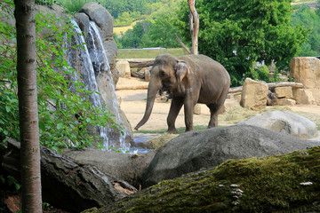 A small Indian Elephant walking by a waterfall