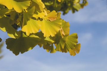 Ginkgo bilova leaves close up with autumnal colors