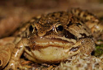 Close-up of a Moor frog, Rana arvalis