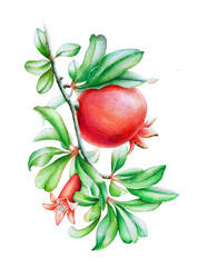 Watercolor illustration of the pomegranate tree branch