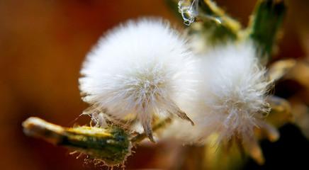 flor del diente de león. flores que soplas y vuelan