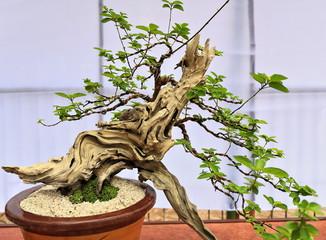 Bonsai dusky fire-brand teak tree-Premna of Gumira mollissima. Quezon park-Dumaguete-Philippines. 0516