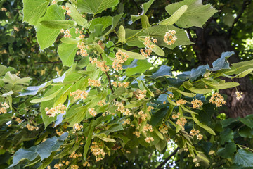 Blooming linden, lime tree in bloom