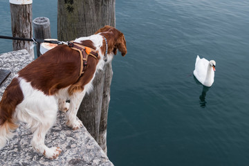 Nice young Welsh Springer Spaniel examining a stone pier on a sunny day.