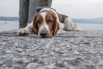 Nice young Welsh Springer Spaniel resting on a stone pier looking into the camera on a sunny day.
