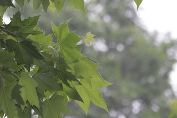 Green Maple Leaves in Spring