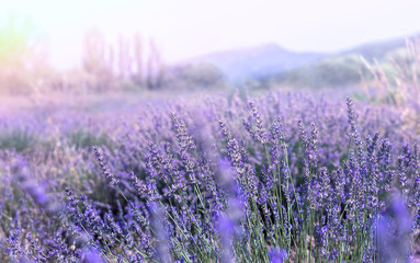 Tuinposter Lavendel Lavender field in Provence. French landscape at ultra violet tone and soft light effect. Lavender flowers at sunlight in a soft focus, pastel colors and blur background.