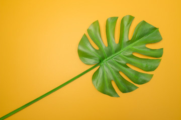 Beautiful green Monstera leaf on yellow background