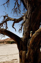Old tree with lost pineapple in desert