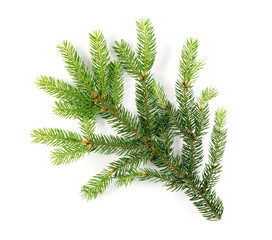 Green Spruce Twigs Isolated