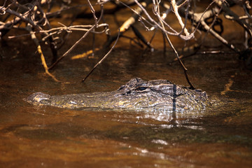 Young American Alligator mississippiensis lurking in a waterway