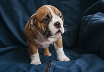 English bulldog female puppy,selective focus