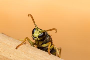 European Paper Wasp Crawling on Timber