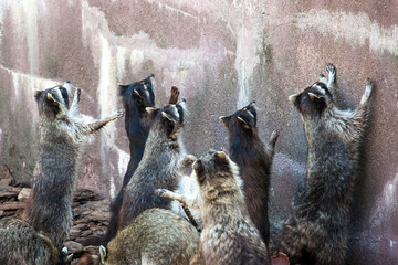 a group of cute raccoons begging