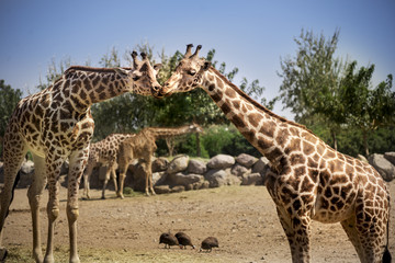 Two giraffes kissing