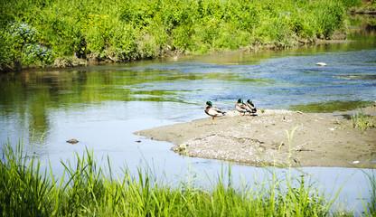 A wild ducks at river