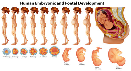Vector of Human Embryonic and Foetal Development
