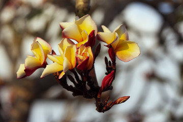 Plumeria color yellow