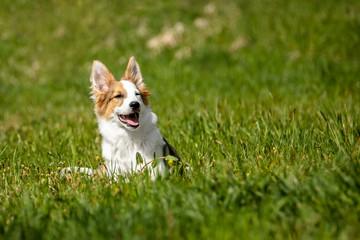 Süßer kleiner Hund oder Welpe Mischling liegt auf der Wiese, Textfreiraum