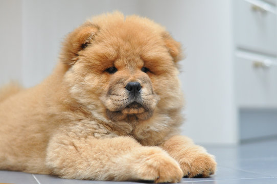 Chow chow puppy in the house. Purebred red dog chow chow