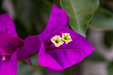 A small bell shaped three pointed purple flower with two four pointed little flowers coming from its center. Green leaves are in the background.