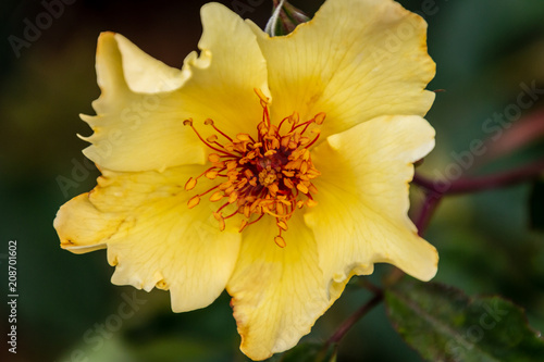 A Large Yellow Wild Rose Blossom With An Orange Center The Camera