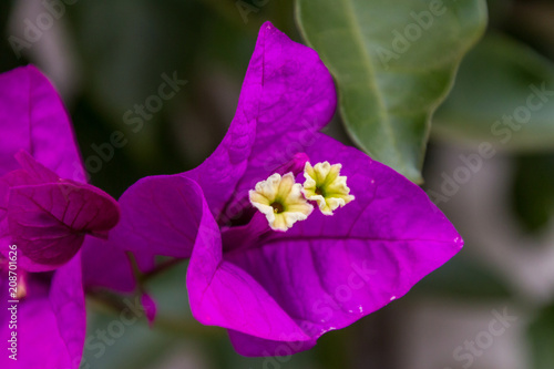A Small Bell Shaped Three Pointed Purple Flower With Two Four Little Flowers Coming From
