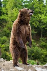 Wall Mural - Big brown bear standing on his hind legs
