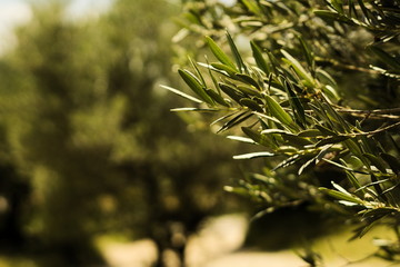 Poster Oliviers Olive tree in Provence, France