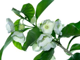 Close up of Vallaris solanacea flower.