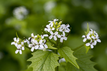 Small white flowers in spring