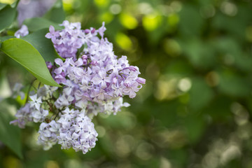Lilac flowers freshly blooming for spring