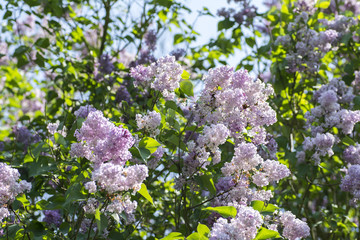 Sunny lilac flowers