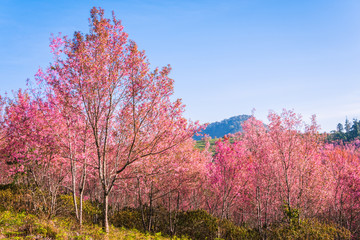 Wild himalayan cherry in sunshine day