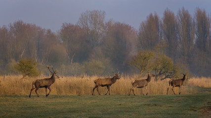 Red Deer in early morning