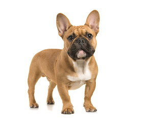 Brown french bulldog standing looking at camera on a white background
