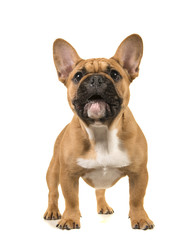 Papiers peints Bouledogue français Brown french bulldog standing with mouth open looking up on a white background