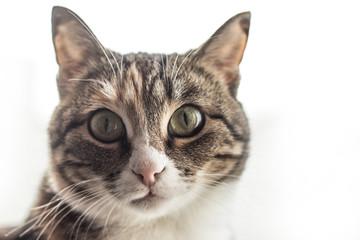 Домашняя кошка на светлом фоне, пушистый питомец
