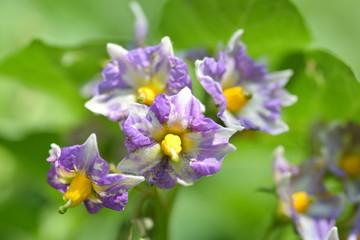 ジャガイモの花 メークイン