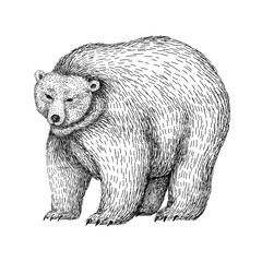 Bear sketch style. Hand drawn digital illustration of beautiful black and white animal. Line art drawing in vintage style. Realistic image.