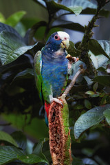 Vertical photo of White-crowned parrot, Pionus senilis, close up wild parrot among wet leaves, feeding on a tropical Inga tree seeds. Rainforest photography, caribbean slopes, Boca Tapada, Costa Rica.