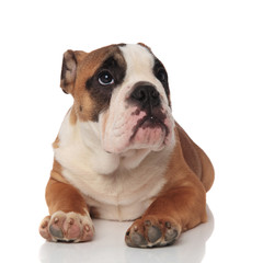 relaxed brown english bulldog looks up to side while lying